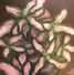 Plants with flesh tones